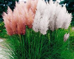 PAMPAS PINK AND WHITE